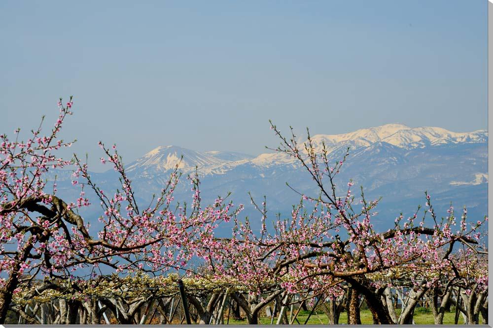 風景写真パネル 福島 吾妻と桃と梨の花 65.2×45.5cm FUK-236-m15絵画 アートなディスプレイや模様替え タペストリーなどに。新築祝い 出産祝い 結婚祝い プレゼントに喜ばれます。