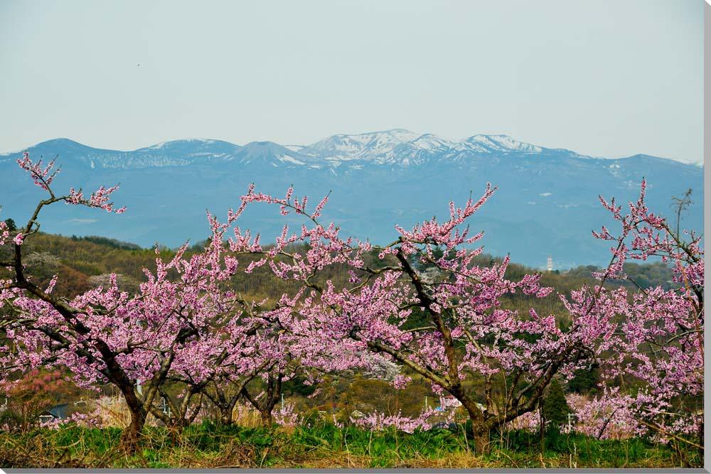 風景写真パネル 福島 吾妻の雪兎 花見山 65.2×45.5cm FUK-239-m15絵画 アートなディスプレイや模様替え タペストリーなどに。新築祝い 出産祝い 結婚祝い プレゼントに喜ばれます。