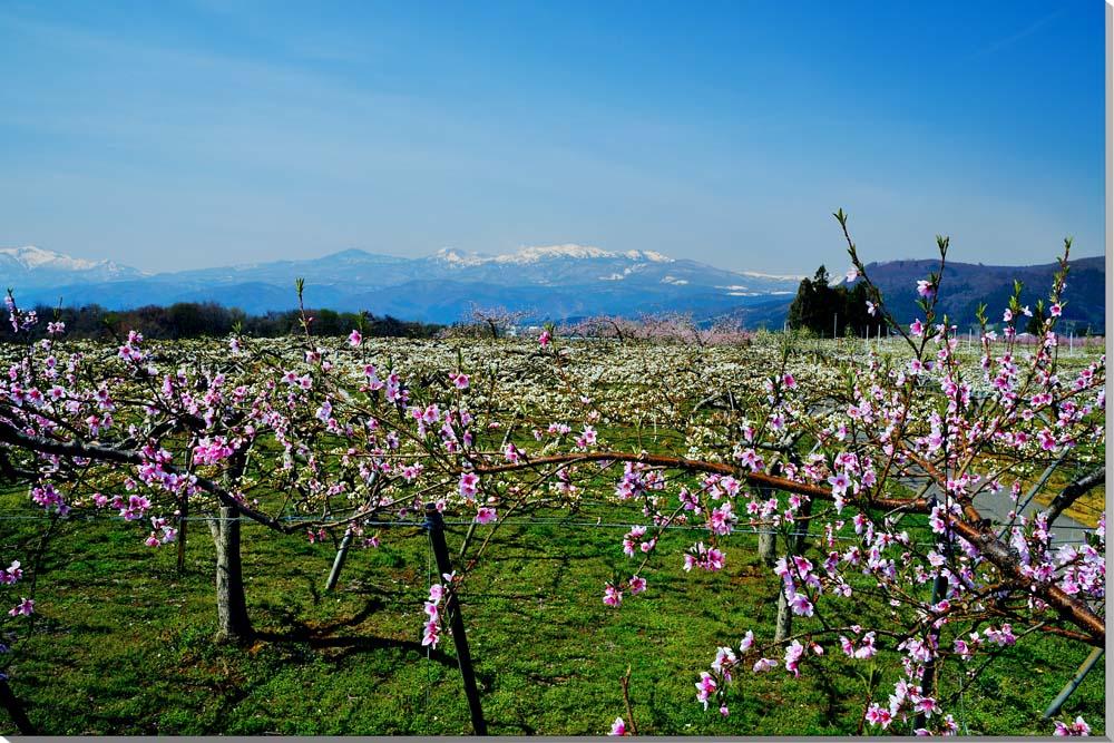 風景写真パネル 福島 桃と梨と吾妻山 72.7×50.0cm FUK-247-m20絵画 アートなディスプレイや模様替え タペストリーなどに。新築祝い 出産祝い 結婚祝い プレゼントに喜ばれます。