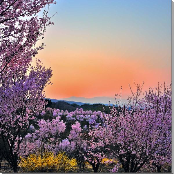 福島平田/花木畑の夕日 桜 風景写真パネル fuk-002-s20