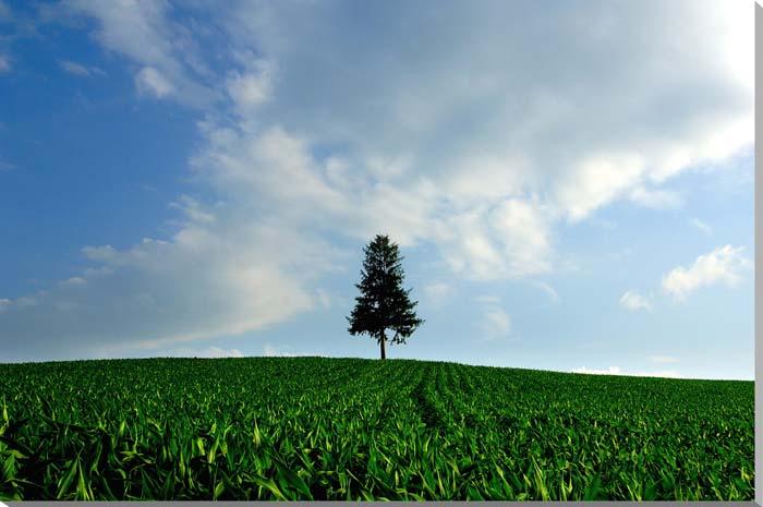 北海道美瑛 セブンスターの木の丘 風景写真パネル 72.8×51.5cm HOK-119-B2 【楽ギフ_名入れ】