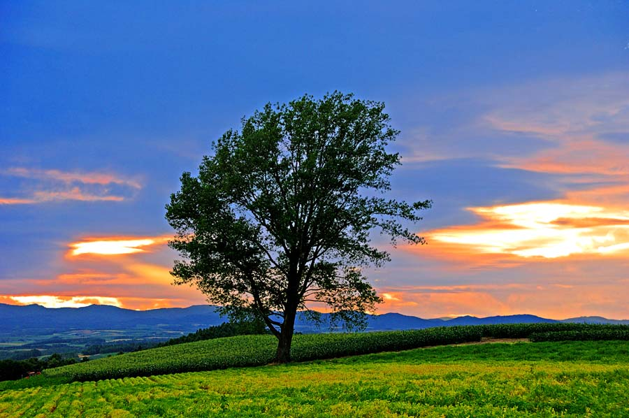 北海道美瑛 夕方の哲学の木 風景写真パネル 72.8×51.5cm HOK-128-B2 【楽ギフ_名入れ】