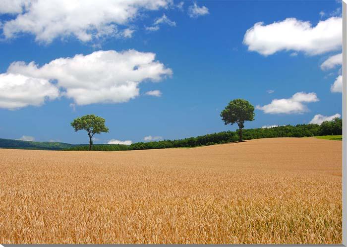 北海道 富良野麓郷 メルヘンの木 風景写真パネル 84.1×59.4cm HOK-103-A1 【楽ギフ_名入れ】