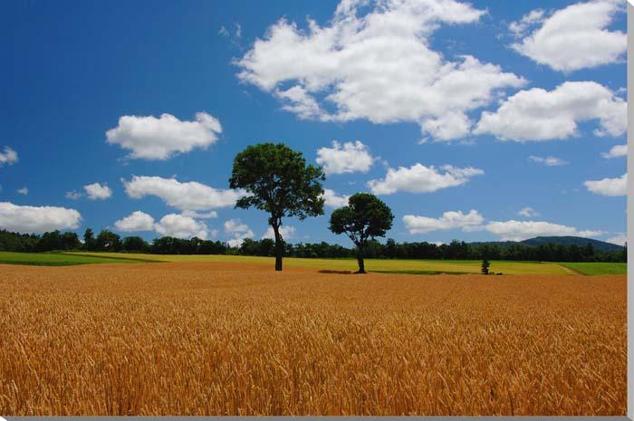 北海道 富良野麓郷 メルヘンの木 風景写真パネル 80.3×53cm HOK-97-M25 【楽ギフ_名入れ】