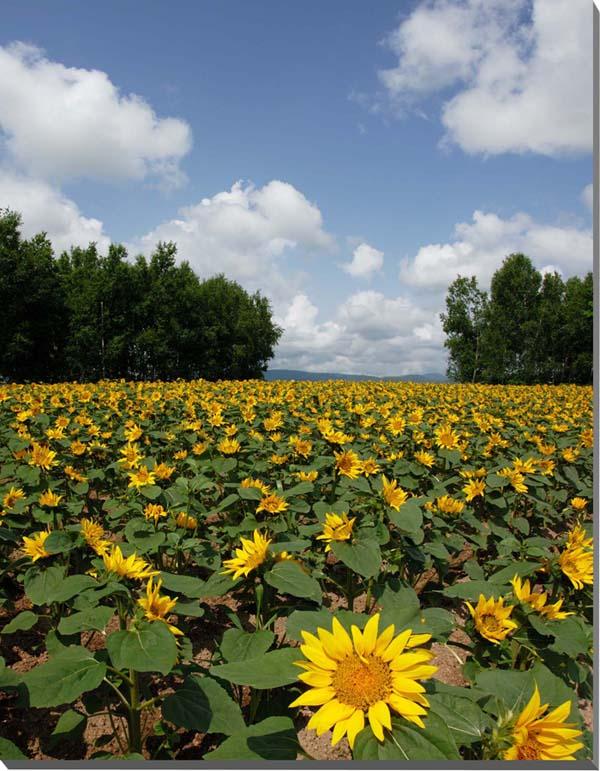 北海道美瑛 ひまわり満開の四季彩の丘 風景写真パネル 65.2×53cm HOK24-F15   【楽ギフ_名入れ】