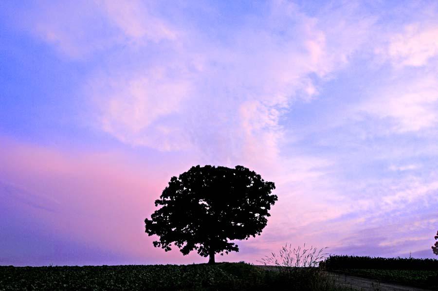 北海道美瑛 セブンスターの木 夕暮れ 風景写真パネル 72.7×50cm HOK-38-M20 【楽ギフ_名入れ】