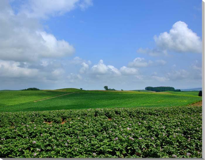 北海道美瑛 ジャガイモ畑と雲 風景写真パネル 91×72.7cm HOK-51-F30 【楽ギフ_名入れ】