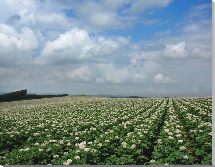 北海道美瑛 ジャガイモの花 風景写真パネル 91×72.7cm HOK-52-F30 【楽ギフ_名入れ】