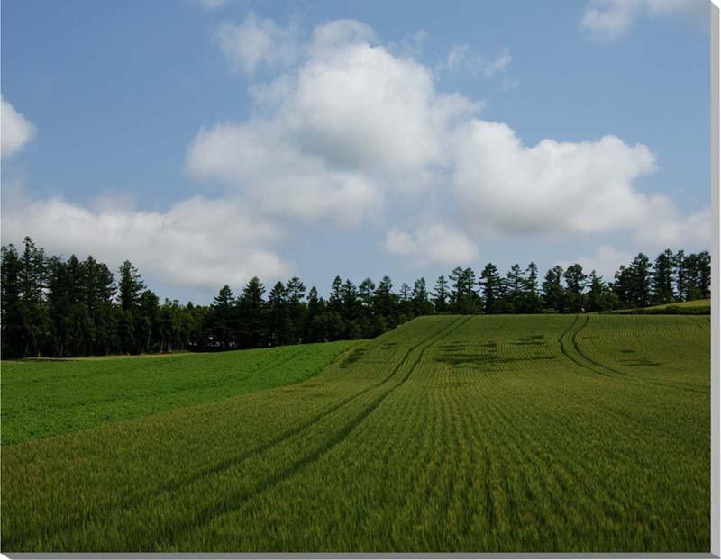 北海道 美瑛の麦畑 風景写真パネル 65.2×53cm HOK-58-F15 【楽ギフ_名入れ】