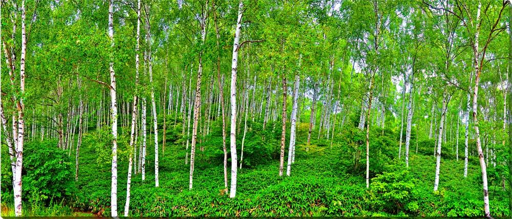 長野/蓼科 白樺林 風景写真パネル制作 インテリア アート 壁掛け 125×53cm BIG-17【楽ギフ_名入れ】