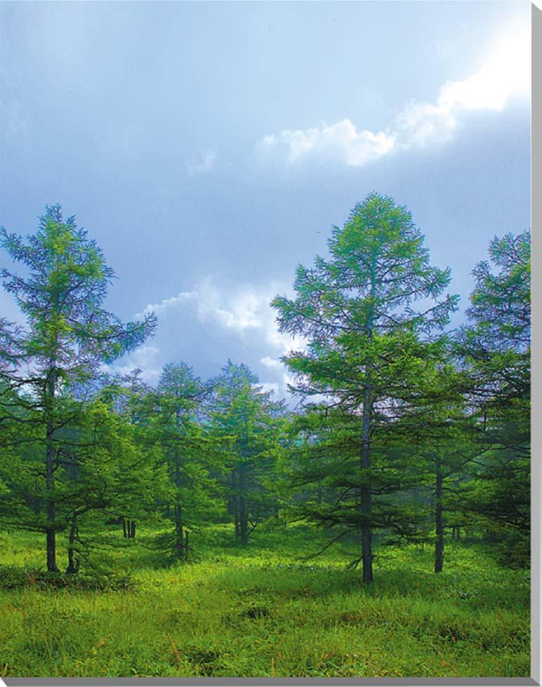 長野 蓼科 夏のカラマツ 風景写真パネル制作 インテリア アート 壁掛け 65.2×50cm NGN-001-P15【楽ギフ_名入れ】