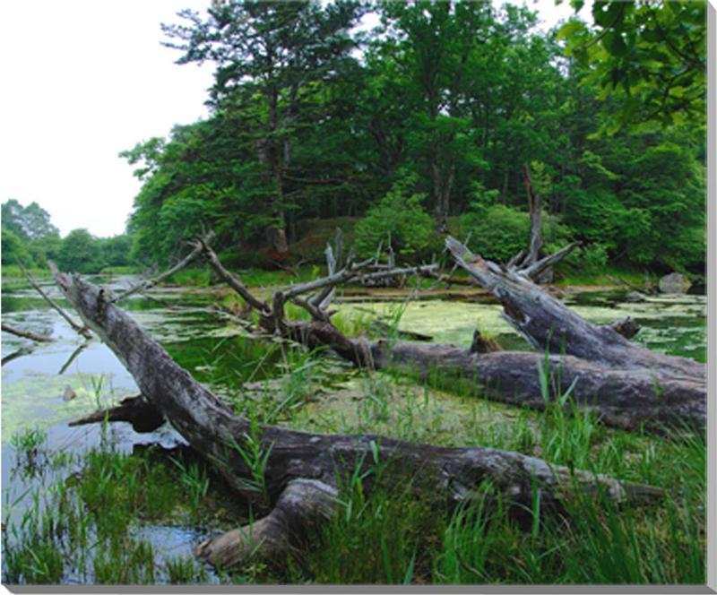 日光 赤沼の倒木 風景写真パネル 80.3×65.2cm NIK-022-F25