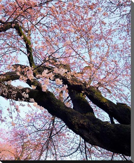 茨城 土浦 真鍋小学校の桜 さくら サクラ 風景写真パネル インテリア アートフォト グラフィック 癒やし 四季 花 ボタニカル 贈り物 プレゼント ギフト BIG-36-F30