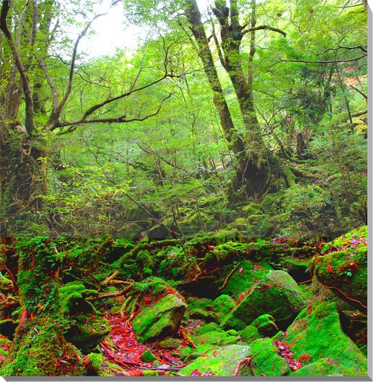 世界遺産 屋久島 もののけ姫の森 風景写真パネル  【楽ギフ_名入れ】
