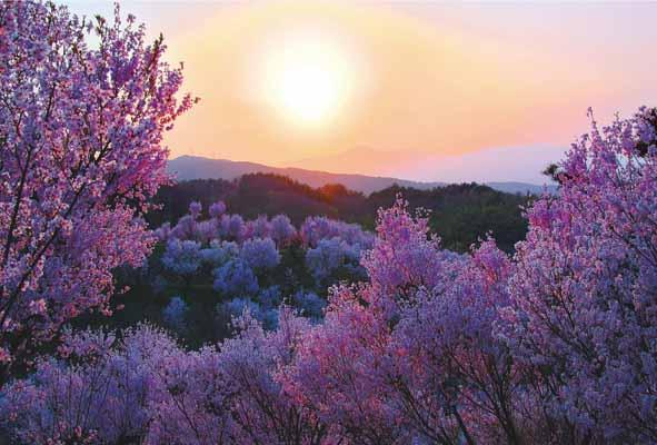 美しい桜の名所の風景写真を 花見名所のさくら絵はがき クリスマスカード 暑中見舞い 寒中見舞いグリーティングカードはいかがでしょうか?5枚で 送料無料 特価キャンペーン ポストカード5枚で バースデー 記念日 ギフト 贈物 お勧め 通販 花見名所のさくら 福島平田 寒中見舞いグリーティングカードはいかがでしょうか? PST-100美しい桜の名所の風景写真を 絵はがき 花木畑と吾妻の夕日2