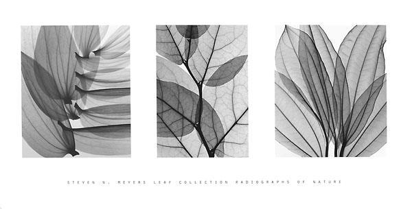 【Steven N.Meyers アートポスター】 (406×813mm) リーフコレクション
