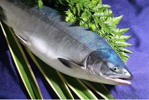 北海道/幻の鮭(さけ)鮭児/3.0キロ前後/鮭司/ケイジ/鮭