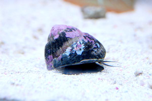 シッタカ貝 5匹