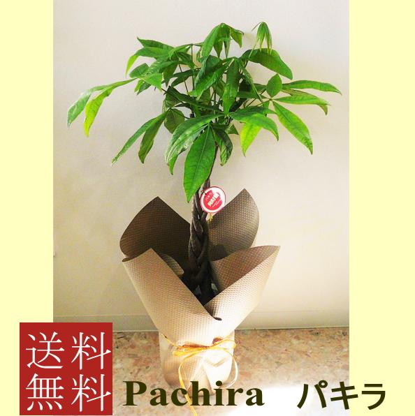 観葉植物パキラ7号