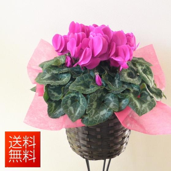 季節の鉢花 あす楽対応 シクラメン6号!バスケット付き【お祝い 花】【シクラメン】