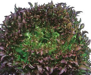 フリルレタス種子 横浜植木 ハンサムレッド1号 Lコート5000粒