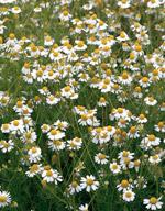 メール便での配送可能 初夏に小さい菊に似た白い花が咲く1年草です 定番スタイル 切り花としても利用されるハーブです 野菜の種 ハーブ 小袋 種 カモミール サカタのタネ ハーブ種子 価格 交渉 送料無料