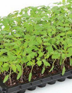トマト用台木種子 サカタのタネ アシスト サカタ 種 1000粒