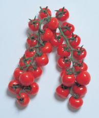 ミニトマト種子 渡辺採種場 CFプチぷよ 1000粒