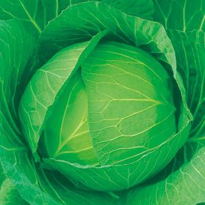 キャベツ種子 日本農林社 フルーツキャベツ(YCR) ペレット5000粒