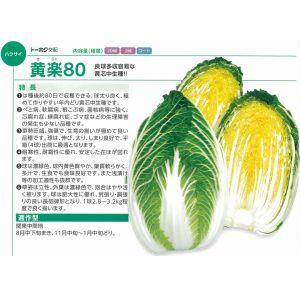 白菜種子 トーホク 黄楽80 コート5000粒