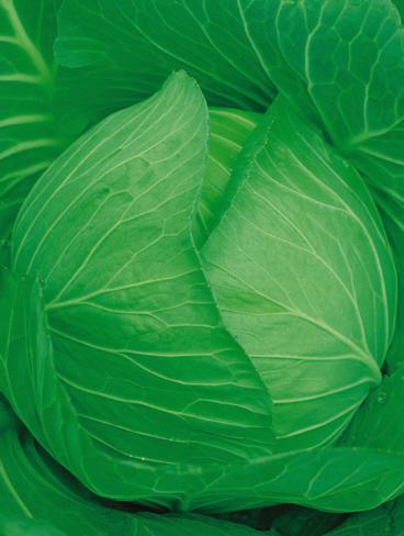 キャベツ種子 日本農林社 輝吉 ペレット5000粒