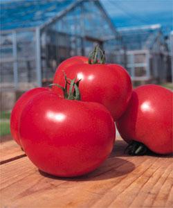 トマト種子 タキイ種苗 桃太郎ヨーク 1000粒