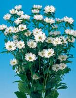 アスター種子 サカタのタネ ステラ ホワイト サカタ 種 花の種 1000粒