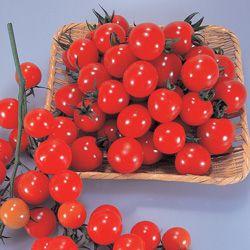 ミニトマト種子 トキタ種苗 サンチェリー250 1000粒