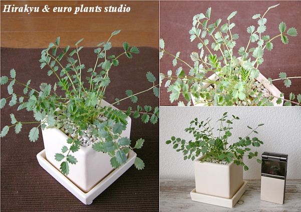 ☆ English Garden Variety ☆ ★ warehouse King direct! Fresh Herb ★ Salad Burnet/White cube Pot salad Barnett-white cube arrangement Interior foliage plants / gift / Memorial Day