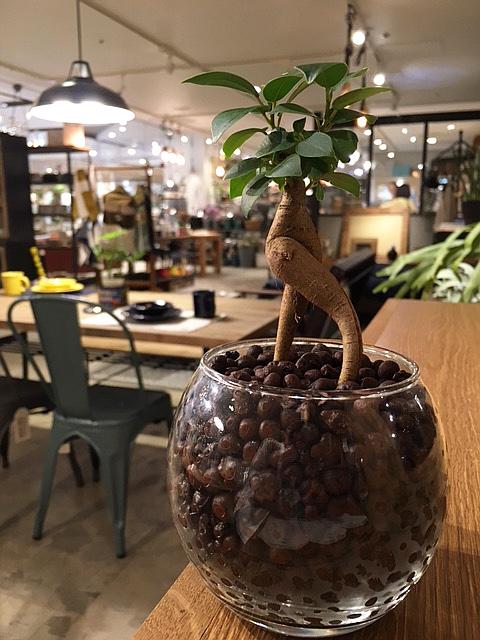 定番スタイル ハイドロ カルチャー 観葉 植物 人気の観葉植物 おしゃれ ガジュマルは縁起の良い木とされギフトにもオススメ 手軽に育てられるハイドロカルチャーアレンジです 送料無料 ガジュマルの木 観葉植物 休日 ガジュマル ハイドロカルチャー ガラス ラウンド 誕生日 お祝い デスク 陶器 精霊の宿る木 グラス 風水 ギフト 高さ15cm程度 多幸の木 がじゅまるの木