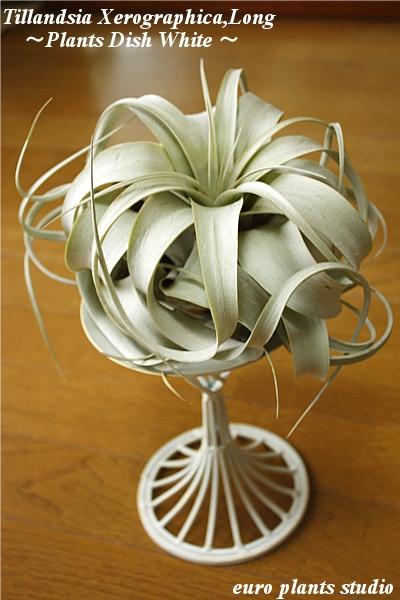 @ エアープランツ/キセログラフィカ/PlantsDish (Antique White)