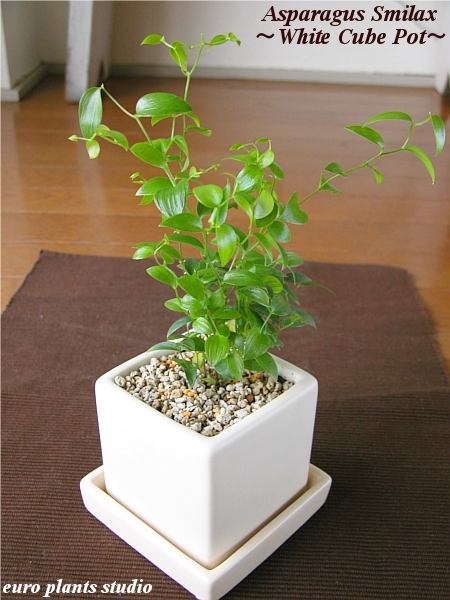 Asparagus Smilax White Cube Pot Interior Ornamental Plants And Potted Simple Modern Birthday Gift