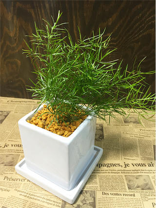 Asparagus Sprengeri White Cube L Size Interior Ornamental Plants And Potted Birthday Gift