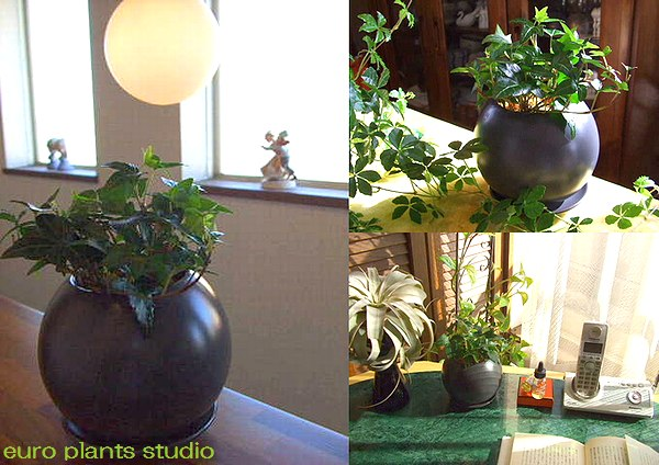Beautiful glazed Hedera and green MIX! ブラックラウンド pot Interior plants and potted direct gift / Memorial Day / birthday