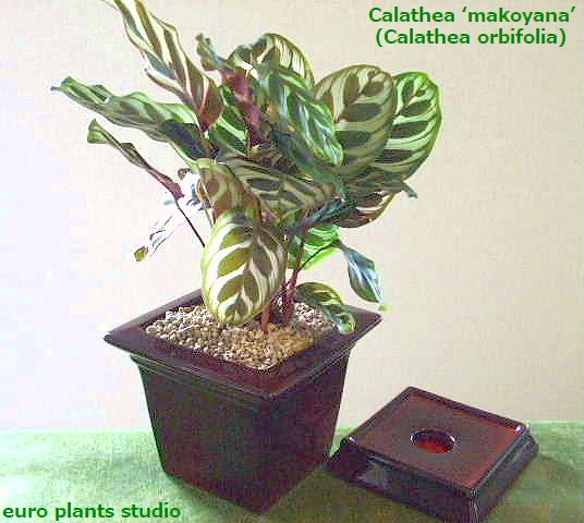 And fascinating plants and Galatea マコヤナ Calathea ' makoyana ' ワインスクエア pot Interior / foliage and potted / direct / Memorial Day / birthday gifts