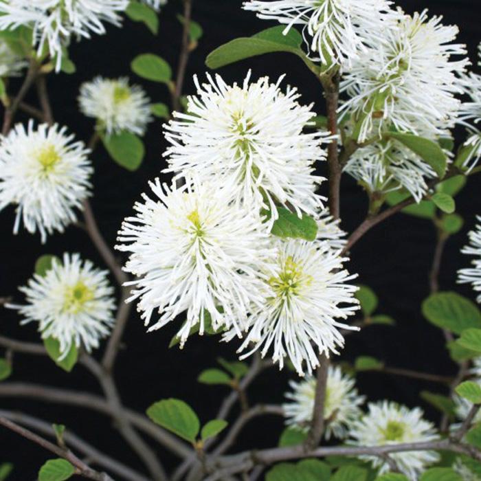 フォッサギラマヨール(シロバナマンサク)白花 小庭に 植木 庭木 苗木 花木 落葉低木