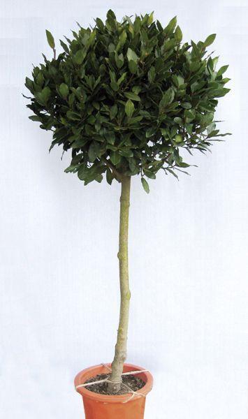 月桂樹の美しい葉で庭づくり 栄冠のシンボルツリーに 超人気 専門店 月桂樹 ゲッケイジュ 人気の製品 ローリエ 半耐寒性常緑中高木 苗木 庭木 植木