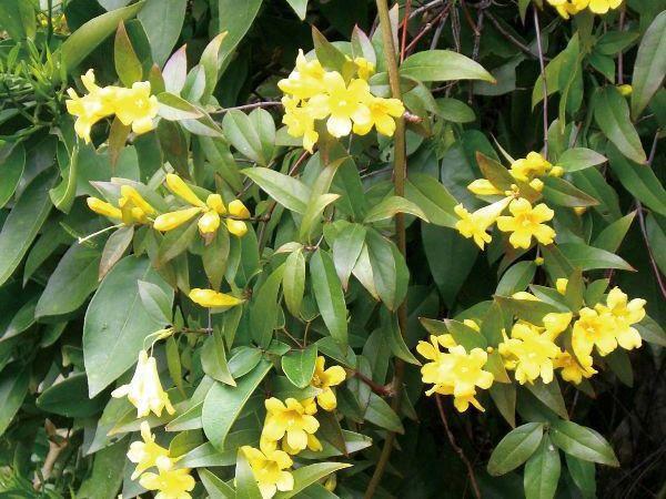 緑のカーテン 物品 ツル性植物で日除け 暑さ対策 省エネ対策 ツル性植物 カロライナジャスミン 常緑つる性低木 香りよし 観葉植物 黄色花 大株 至上