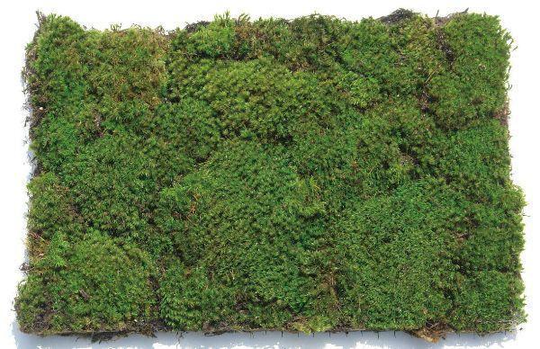 コケ カモジ苔 全国どこでも送料無料 カモジゴケ 緑の絨毯で緑化に貢献しよう ネットマット 緑の絨毯 苗木 植木 4枚セット 庭木 高品質新品