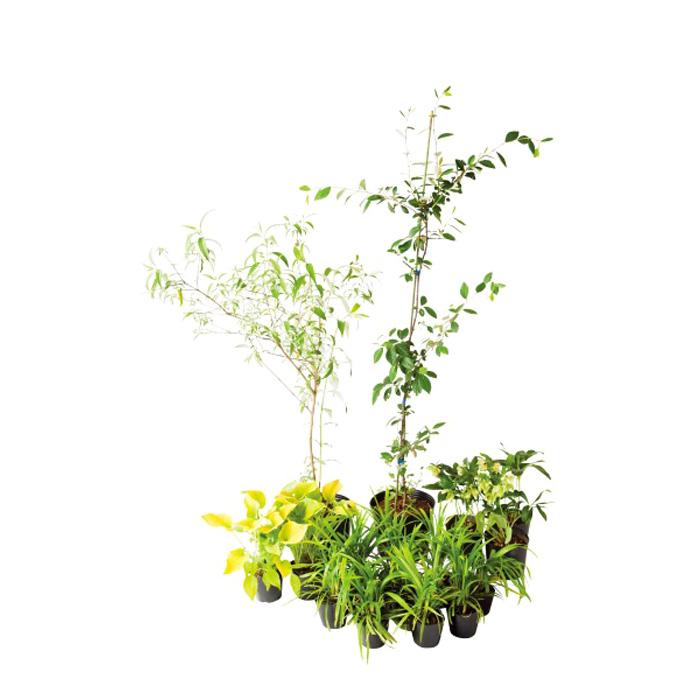 ブリーゼ ブッドレア 日なた 日陰 セットアップガーデン 植木 苗 庭木 ボーダー花壇 セット商品