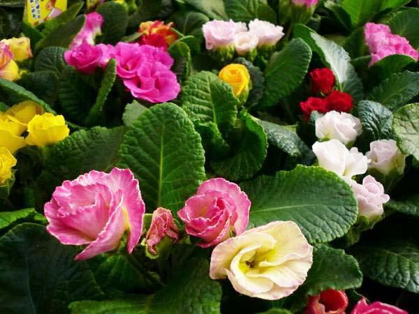 Auc gifuryokuen rakuten global market is a cute frilly flowers is a cute frilly flowers like double petaled julian 4 stock set rose varieties where one after another until the spring flowers mightylinksfo