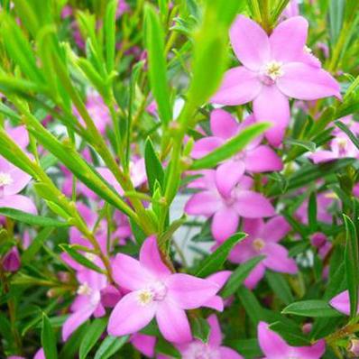 サザンクロス お歳暮 ピンク 花苗 星型のピンクの花が可愛らしい 激安通販専門店 通販 種類 寄せ植え等に人気の花 販売
