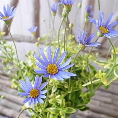 Auc Gifuryokuen Beautiful Variegated Blue Daisy Iv Potted Plant