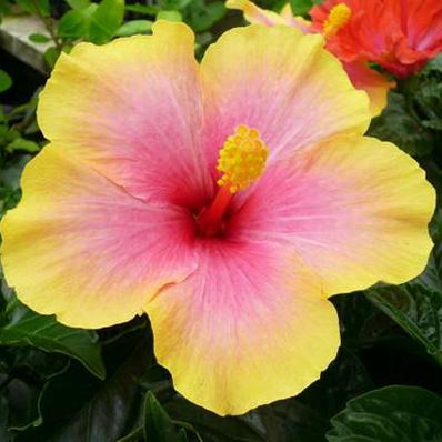 Auc Gifuryokuen Hibiscus Mrs Yumi 5 Flower Potted Plant Bowl